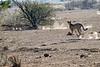 Cheetah_Jackal_Chase_Mashatu_2019_Botswana_0037
