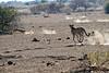 Cheetah_Jackal_Chase_Mashatu_2019_Botswana_0027