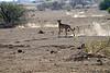 Cheetah_Jackal_Chase_Mashatu_2019_Botswana_0030