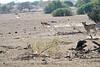 Cheetah_Jackal_Chase_Mashatu_2019_Botswana_0007