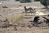 Cheetah_Jackal_Chase_Mashatu_2019_Botswana_0013