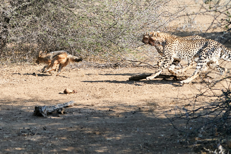 Cheetah_Jackal_Chase_Mashatu_2019_Botswana_0001