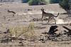 Cheetah_Jackal_Chase_Mashatu_2019_Botswana_0011