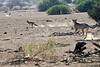 Cheetah_Jackal_Chase_Mashatu_2019_Botswana_0009