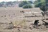 Cheetah_Jackal_Chase_Mashatu_2019_Botswana_0006