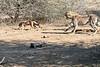 Cheetah_Jackal_Chase_Mashatu_2019_Botswana_0002