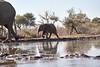 Elephants_At_Matabole_Hide_Mashatu_2019_Botswana_0015