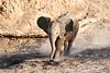 Young_Elephant_Running_To_Water_Mashatu_2019_Botswana_0004