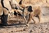 Young_Elephant_Running_To_Water_Mashatu_2019_Botswana_0008
