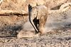Young_Elephant_Running_To_Water_Mashatu_2019_Botswana_0006