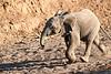 Young_Elephant_Running_To_Water_Mashatu_2019_Botswana_0014