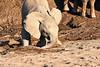Young_Elephant_Digging_Water_Mashatu_2019_Botswana_0006