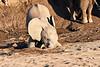 Young_Elephant_Digging_Water_Mashatu_2019_Botswana_0002