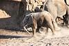 Young_Elephant_Running_To_Water_Mashatu_2019_Botswana_0011