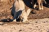 Young_Elephant_Digging_Water_Mashatu_2019_Botswana_0003