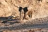 Young_Elephant_Running_To_Water_Mashatu_2019_Botswana_0002