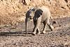 Young_Elephant_Running_To_Water_Mashatu_2019_Botswana_0013