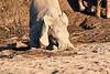 Young_Elephant_Digging_Water_Mashatu_2019_Botswana_0005