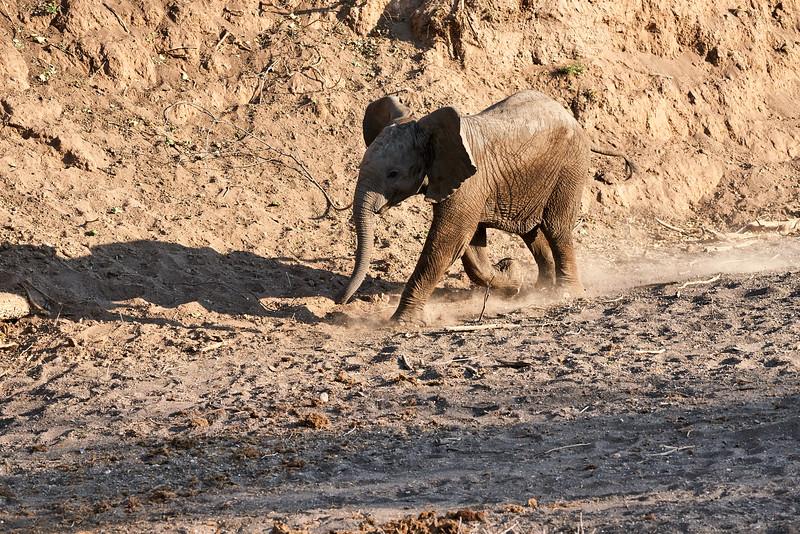 Young_Elephant_Running_To_Water_Mashatu_2019_Botswana_0001