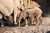 Young_Elephant_Running_To_Water_Mashatu_2019_Botswana_0012