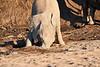 Young_Elephant_Digging_Water_Mashatu_2019_Botswana_0001