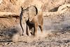 Young_Elephant_Running_To_Water_Mashatu_2019_Botswana_0007