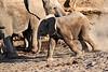 Young_Elephant_Running_To_Water_Mashatu_2019_Botswana_0010