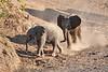 Baby_Elephant_Greetings_Mashatu_2019_Botswana_0012