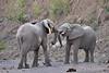 Elephant_Jousting_Mashatu_2019_Botswana_0002