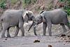 Elephant_Jousting_Mashatu_2019_Botswana_0016