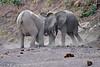 Elephant_Jousting_Mashatu_2019_Botswana_0020