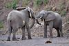 Elephant_Jousting_Mashatu_2019_Botswana_0003