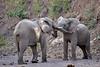 Elephant_Jousting_Mashatu_2019_Botswana_0004