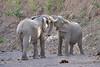 Elephant_Jousting_Mashatu_2019_Botswana_0001