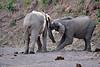 Elephant_Jousting_Mashatu_2019_Botswana_0007