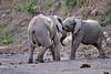 Elephant_Jousting_Mashatu_2019_Botswana_0006