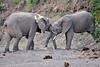 Elephant_Jousting_Mashatu_2019_Botswana_0017