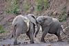 Elephant_Jousting_Mashatu_2019_Botswana_0005