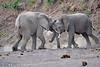 Elephant_Jousting_Mashatu_2019_Botswana_0019