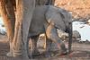 Elephant_Mother_Baby_Mashatu_2019_Botswana_0017