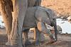 Elephant_Mother_Baby_Mashatu_2019_Botswana_0015