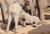 Elephant_Sitting_Up_Mashatu_2019_Botswana_0013