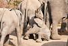 Elephant_Sitting_Up_Mashatu_2019_Botswana_0008