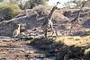 Giraffe_Mashatu_2019_Botswana_0037