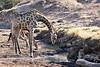 Giraffe_Mashatu_2019_Botswana_0027