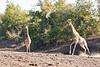 Giraffe_Mashatu_2019_Botswana_0030
