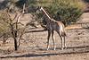 Giraffe_Mashatu_2019_Botswana_0002