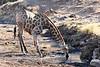 Giraffe_Mashatu_2019_Botswana_0028