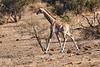 Giraffe_Mashatu_2019_Botswana_0004