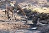 Giraffe_Mashatu_2019_Botswana_0026